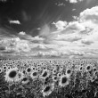 Stock Photo: Sunflowers landscape