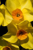 Macro of a yellow daffodil — Stock Photo