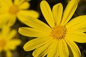 Macro of a gerber daisy — Fotografia Stock