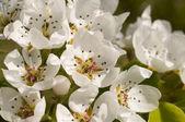 Kiraz çiçek — Stok fotoğraf