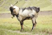 Goat eating — Stock Photo