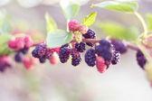 Mulberries — Stock Photo