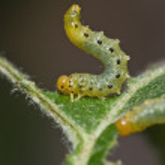 Sawfly larvae 06 — Stock Photo