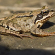 Common brown frog 001 — Stock Photo
