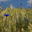 Royalty-Free Stock Photo: Cornflower in a field 002