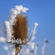 Thistle with hoarfrost 02 — Stock Photo #5091312