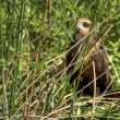 Stock Photo: Marsh Harrier 04