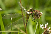 Black-tailed skimmer 03 — Stock Photo