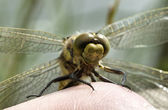 Black-tailed skimmer 05 — Stock Photo