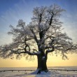 Winter oak 1 — Stock Photo