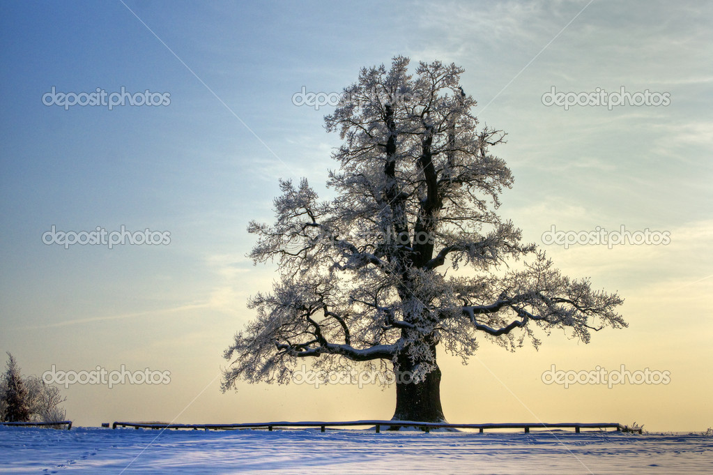 An oak tree in winter in the late afternoon — Stock Photo #5160021