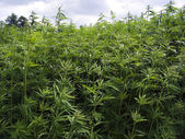 Hemp plant 5 — Stock Photo