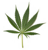 Hemp plant 2 — Stock Photo