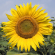 Stock Photo: Sunflower 8