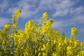 Rapeseed field 3 — Stock Photo
