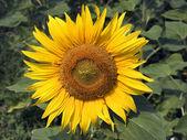 Sunflower 5 — Stock Photo