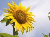 Sunflower 2 — Stock Photo