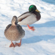 Two ducks on the snow — Stock Photo