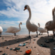 Scandinavian Swans — Stock Photo