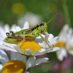 Grasshopper on margaret — Stock Photo