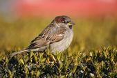 House Sparrow in the bush — Stock Photo