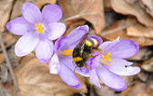 Bee, pollinating crocus — Stock Photo