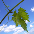 Leaf vine — Stock Photo