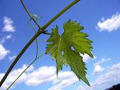 Leaf vine — Stock Photo