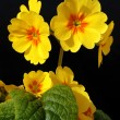 Royalty-Free Stock Photo: Yellow flowers primula