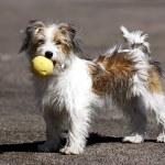Domestic dog — Stock Photo