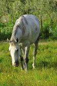 Wild white horse — Stock Photo
