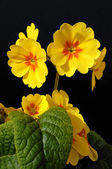 Yellow flowers primula — Stock Photo
