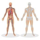 Anatomía humana del hombre — Vector de stock