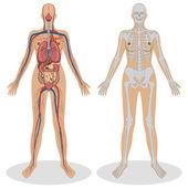 Human Anatomy of woman — Stock Vector
