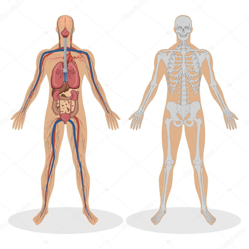 Illustration of human anatomy of man on white background — Stock Vector #5277496