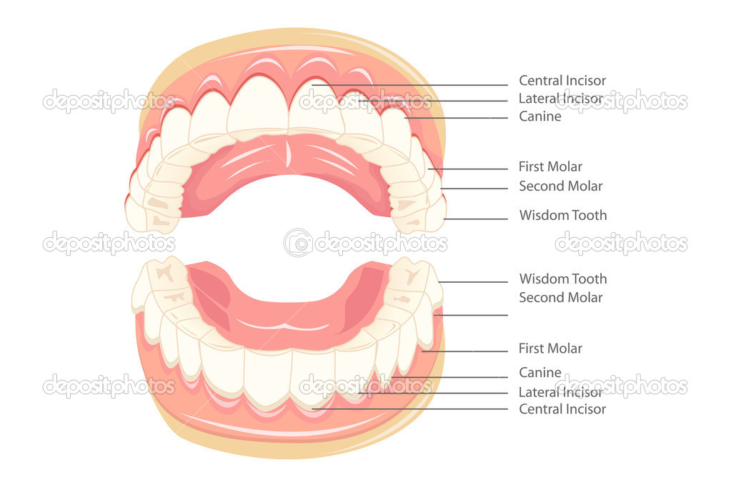 Illustration of anatomy of teeth with labeling — Stock Vector #5278012