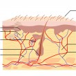 Anatomy of Skin - Imagens vectoriais em stock