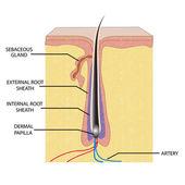 Anatomía del pelo — Vector de stock