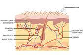 皮肤的解剖 — 图库矢量图片