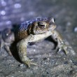 Frog stand on swet grounds — Stock Photo