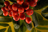 Serviceberry and leaves — Stock Photo
