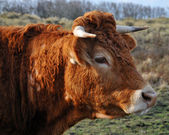 Serious looking cow — Stock Photo