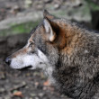 Wolf in deep thoughts — Stock Photo #5090084