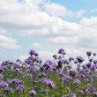 Phacelia field - Stock Photo
