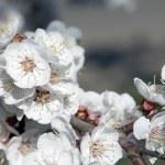 Bahar elma çiçeği portre — Stok fotoğraf