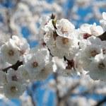 Bahar elma çiçeği — Stok fotoğraf