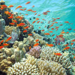 Shoal of anthias fish — Stock Photo #5039256