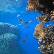 Shoal of snapper — Stock Photo #5039295