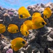 Shoal of butterfly fish — Stock Photo #5144165