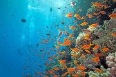 Shoal of anthias fish — Stock Photo